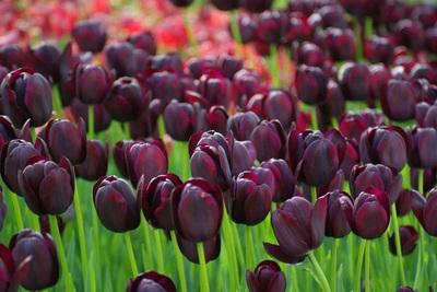 tulip istanbul wisata tour ke turki
