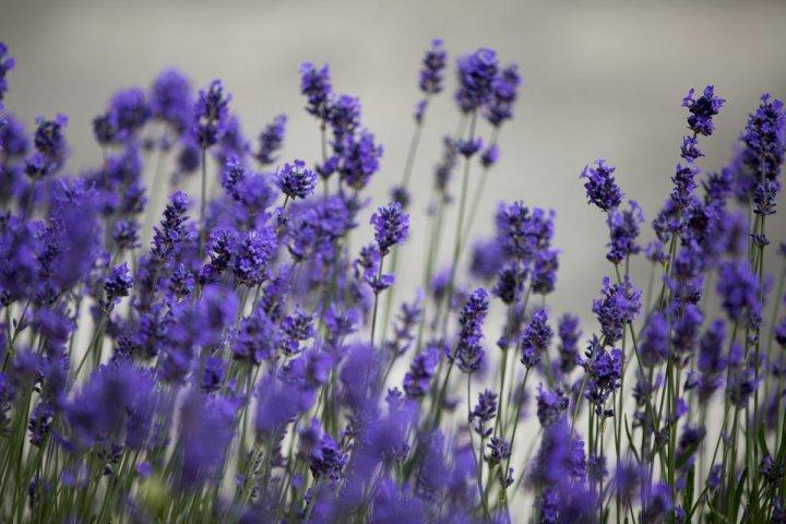 tour ke turki kuyucak taman bunga lavender turki