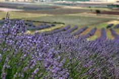 wisata ke turki kuyucak taman bunga lavender turki