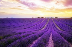 wisata ke turki kuyucak taman bunga lavender