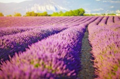 wisata tour ke turki kuyucak bunga lavender turki