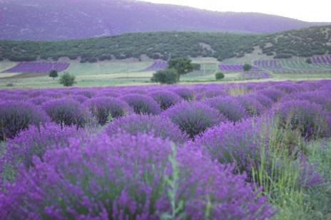 wisata tour ke turki kuyucak taman bunga lavender turki