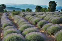 wisata turki kuyucak taman bunga lavender turki