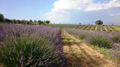 wisata turki kuyucak taman bunga lavender